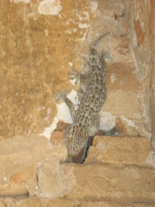 and Tokay geckos