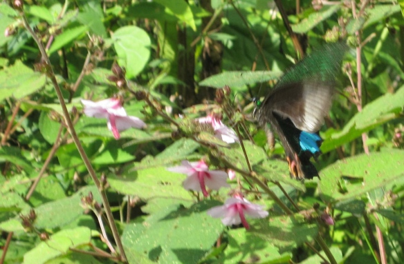 Amazingly, for I think the first time ever, I captured a butterfly in flight on film. It was the size of a small bird.