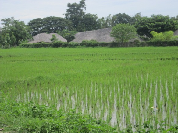 A view of Panyaden School through rice fields.