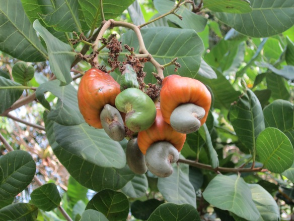 This is how cashew nuts grow. It's just the part on the end of a big fruit. They need to be harvested individually, the nut is then cut from the fruit, shelled, and dried. Quite a process. It explains why they're expensive.
