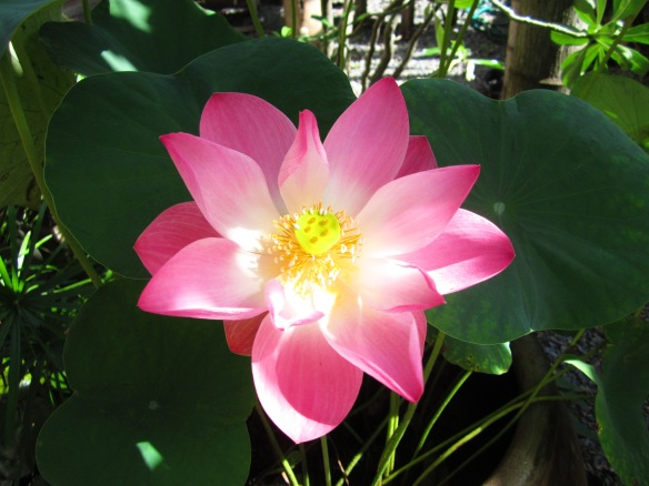 Backyard blooming lotus