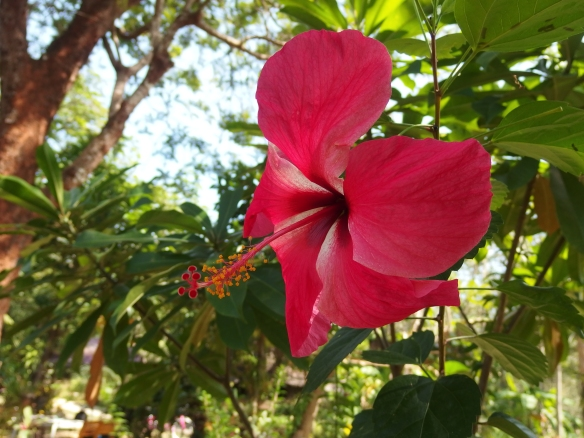 Hibiscus upon walking up to the village