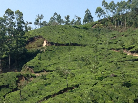 The next day we  hiked through the tea plantations