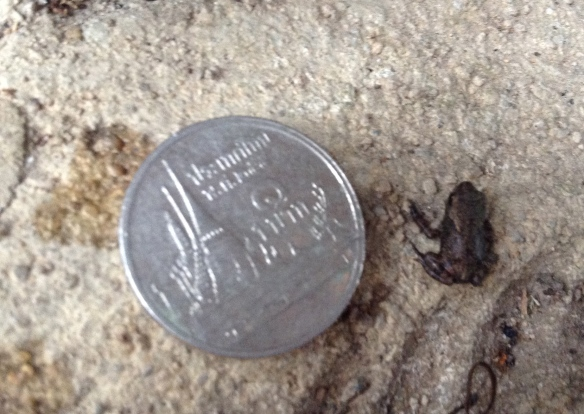 Here is a frog next to a one baht coin. This coin is somewhere between the size of a penny and dime or  about the size of a two cent Euro coin. This means it's small...