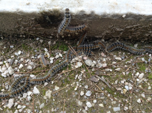 On the way up to the Acropolis I noticed these caterpillars.