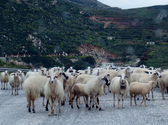 Sheep traffic jam