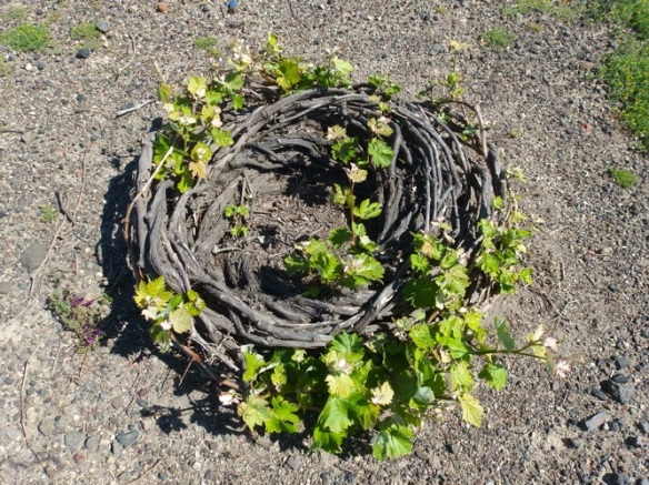 The grapevines are grown in this circular shape. We think it is because of the wind.