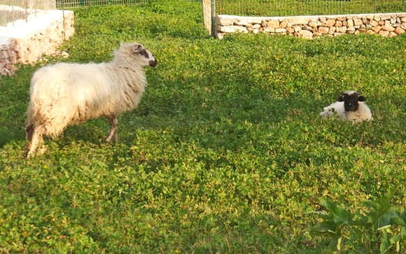 The sheep I supposedly saved by being vegetarian.