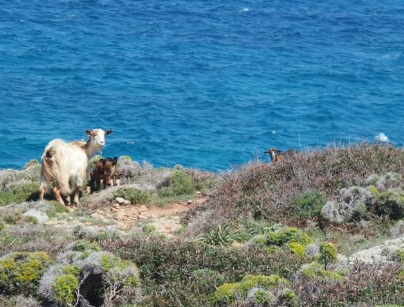 Goats too