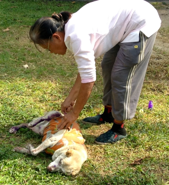 Here a woman is applying the purple mange medicine to some dogs at Wat Chang Man.