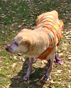 Slightly purple dog in clothes