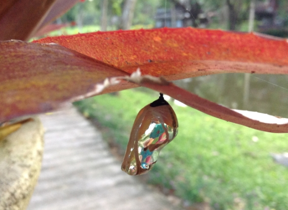 The most incredible golden chrysalis I've ever seen