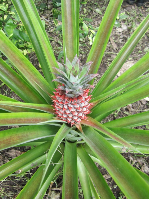 Seeing a pineapple plant grow