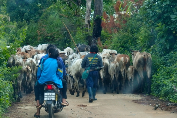 Herding cows on a motorbike